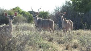Download Watch kudu cows barking - amazing to see it Video