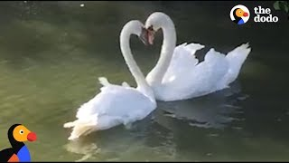 Download Swan Couple Has SWEETEST Reunion | The Dodo Video