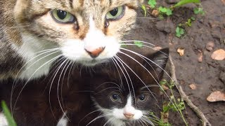 Download Kitten with mother cat in the bushes Video