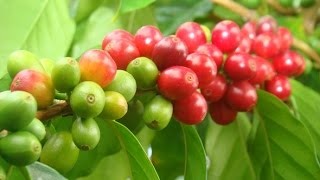 Download Coffee - [n] Ethiopia's ultimate gift to the world. Video