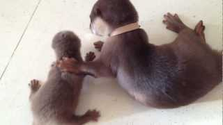 Download Baby Otters: Mochi and Sushi Video