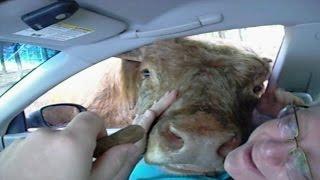Download Cow Licks Woman Through Car Window Video