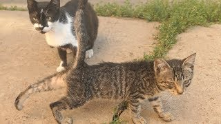 Download Kitten with cats waiting for food every day Video