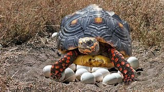Download Red-Footed Tortoise laying eggs and cute babies Tortoise hatching Video