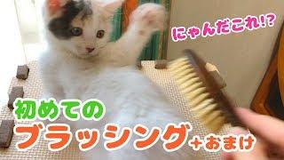 Download 子猫のぽてと・初めてのブラッシングにチャレンジ Video