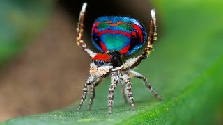 Download Peacock Spider 12 (Maratus caeruleus) Video