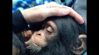 Download Saddest Baby Chimp Was About To Give Up On Life, Then A Miracle Happens Video