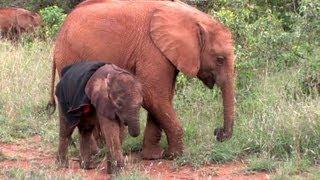 Download Ivory Orphans at the David Sheldrick Wildlife Trust in Kenya 2011 Video