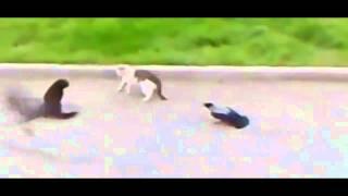 Download 2 Crows Instigate & Start A Cat Fight! Video
