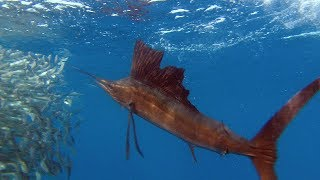 Download Sailfish Are Master Hunters - Planet Earth - BBC Earth Video