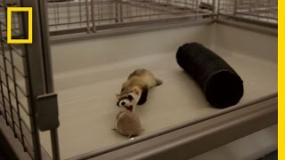 Download Harsh Reality of Saving Endangered Ferrets | National Geographic Video