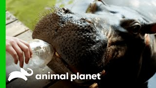 Download Jessica the Hippo Raised by Human Parents Video
