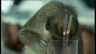 Download Alcoholic Vervet Monkeys! - Weird Nature - BBC animals Video