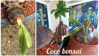 Download Coconut growing in the plastic pot | Coconut Bonsai Growing Tips Video
