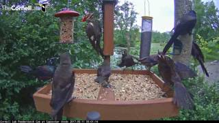 Download Pileated Woodpecker Fends Off Grackles At Cornell Feeders – August 11, 2017 Video