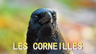 Download CORNEILLES NOIRES Video