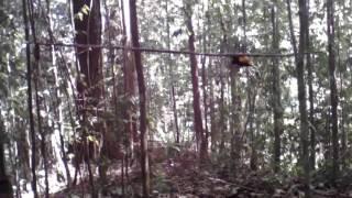 Download Cara memikat murai borneo Video
