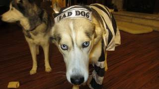 Download Dog Freezes in Halloween Costume Funny Must See - Siberian Husky Video