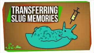 Download Scientists Just Transferred Memories... Between Sea Slugs Video