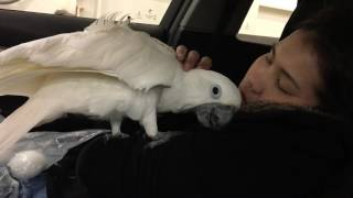 Download Boyz ll Men-End Of The Road - Adorable umbrella cockatoo ❤️❤️❤️ Video