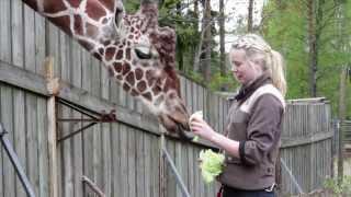 Download Kolmården Play: Giraff Video