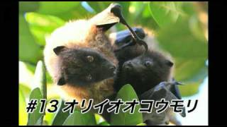 Download ほのぼのオリイオオコウモリの親子 Video