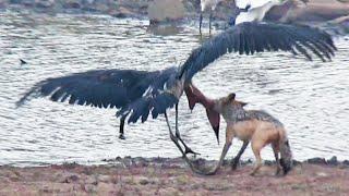 Download Jackal Kills Stork in an Epic Battle Video