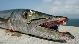 Download Ultimate TRASH Fish Taste Test- Catch Clean Cook- Barracuda Video