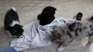 Download Shibaranian Puppies For Sale Video