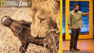 Download Watch Wild Predators Battle for Survival: Beyond 'Savage Kingdom' (Part 3) | Nat Geo Live Video