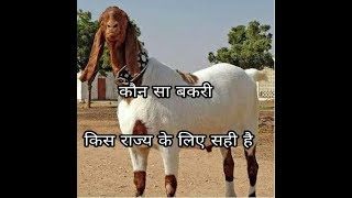 Download कौन सी बकरी नस्ल किस राज्य के लिए सही है/which Goat breed is perfect for which state Video
