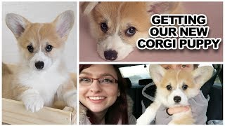 Download Getting our new corgi PUPPY!!!! Video