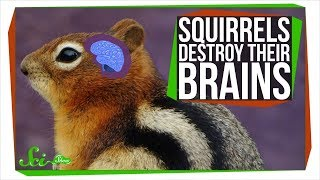 Download Why These Squirrels Destroy Their Brains Every Winter Video