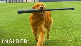 Download Dog Works As A Batboy At Baseball Games Video