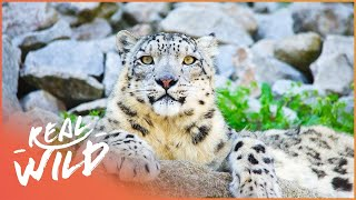 Download The Secret World Of Snow Leopards: Why Are They So Special? | Wild Things Documentary Video