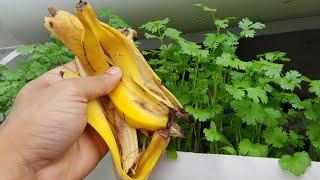 Download Apenas 3 cascas de banana no coentro(veja o resultado) Video