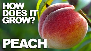 Download PEACH | How Does it Grow? Video
