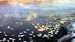 Download Trumpeter Swans on the Mighty Mississippi River in Monticello, Minnesota Video