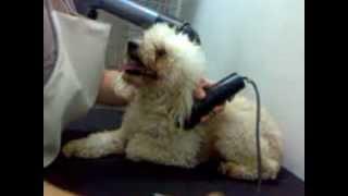 Download Tosa de Poodle Video
