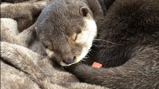Download カワウソさくら 寝ているところにジャーキーを置いたら衝撃の結果が…!? Put a jerky on the otter sleeping Video