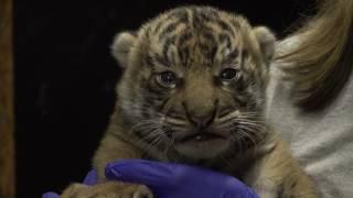 Download B-Roll: Sumatran Tiger Cub at the Smithsonian's National Zoo Video