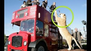 Download Dangerous Jungle Cats Video