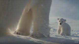 Download Polar Bear Helps Film Her Own Cub | BBC Earth Video