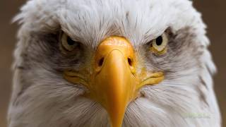 Download 🦅 5 BEST EAGLE ATTACKS CAUGHT ON CAMERA Video