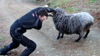 Download Angry ram finds 2 more victims. Video