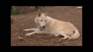 Download International Wolf Center- Laying Low 21 July 2017 Video