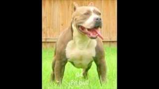Download Top 10 Kräftigste Hunde (meiner Meinung nach) Video