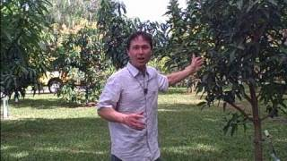 Download 1 Acre Home Orchard in South Florida Yields Over a Thousand of Pounds of Tropical Fruit a Year Video