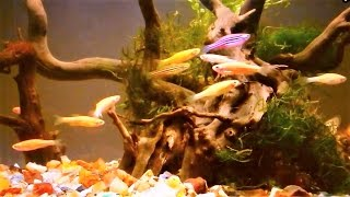 Download Zebrafish Care - Zebra Danio Aquarium Set-up & Care Guide Video