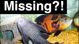 Download Pleco Ate My Fish? My Fish Are Gone.. What Happened Video